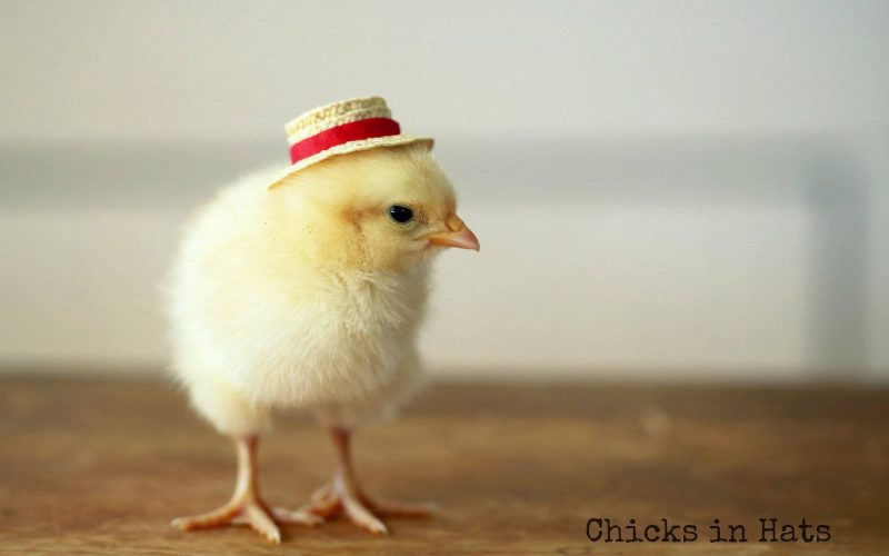 Hen With A Hat Wallpaper